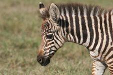 Free Zebra S Head Stock Images - 5367564