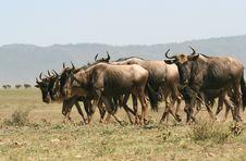 Free Herd Of Wildebeest. Stock Photo - 5367570