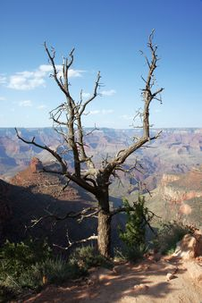 Free Dry Tree Above The Grand Canyon Panorama Royalty Free Stock Images - 5367609