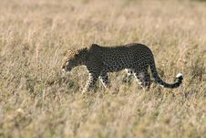 Free Leopard Walking Through Grass Stock Photography - 5367622