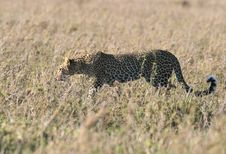 Free Leopard In Dry Grass Stock Photos - 5367623