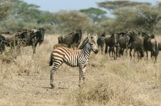 Free Zebra Against Herd Of Wildebeests Royalty Free Stock Photography - 5367637