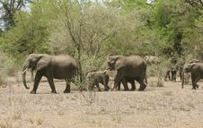 Free Group Of African Elephants Stock Image - 5367641