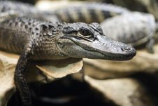 Alligator Closeup Stock Photo
