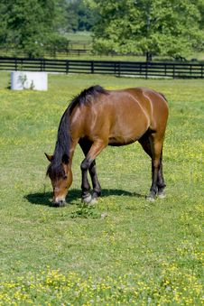 Free Horse Grazing In Field Royalty Free Stock Images - 5368109