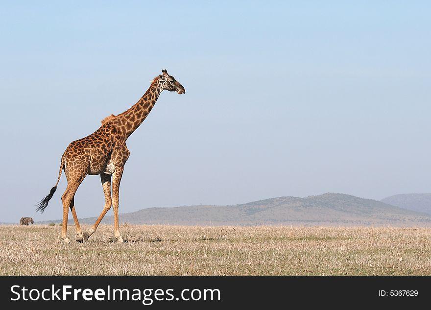 Giraffe crossing the savanna.