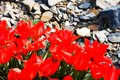 Free Red Tulips Stock Images - 53602884