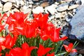 Free Red Tulips Royalty Free Stock Photo - 53602925