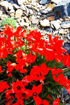 Free Red Tulips Stock Image - 53602901