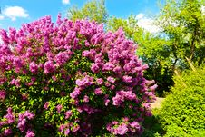 Free Syringa Chinensis Royalty Free Stock Photos - 53613648