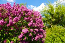 Free Syringa Chinensis Stock Photo - 53613700