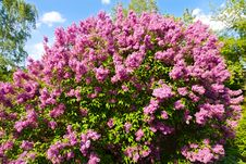 Free Syringa Chinensis Stock Photos - 53613813