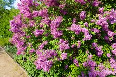 Free Syringa Chinensis Stock Photo - 53613880
