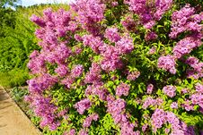Free Syringa Chinensis Royalty Free Stock Images - 53614109