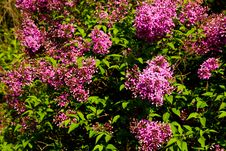 Free Syringa Chinensis Royalty Free Stock Photos - 53614328