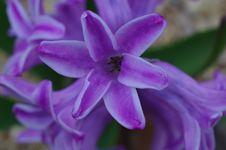 Free Purple Flowers Hyacinth Close-up Stock Photo - 53643300