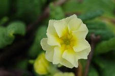 Free Yellow Flowers Primrose Close-up Stock Photography - 53643502