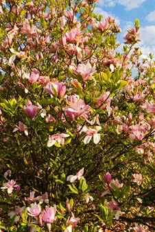 Free Pink Magnolia Royalty Free Stock Photography - 53667237
