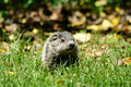 Free Baby Ground Hog In The Grass Royalty Free Stock Image - 5371516