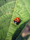 Free Ladybug On Leaf Stock Photography - 5377842