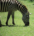 Free Zebra Eating Grass Royalty Free Stock Images - 5378439