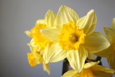 Free Daffodil Royalty Free Stock Photography - 5370107