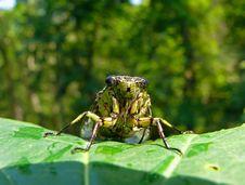 Free Cicada (Tibicen Bichamatus) 3 Stock Photos - 5370113
