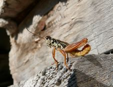 Free Grasshopper 10 Royalty Free Stock Image - 5370196