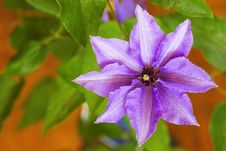 Free Clematis One Stock Photo - 5370300