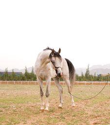 Free Arab Horse Stock Image - 5371091