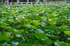 Free Water Lily Royalty Free Stock Photo - 5371135