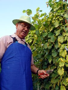 Man Work In Vineyard Royalty Free Stock Photos