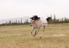 Free Arab Horse Royalty Free Stock Images - 5371199