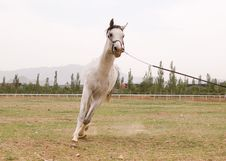 Free Arab Horse Stock Photography - 5371332