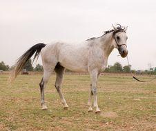 Free Arab Horse Stock Image - 5371381