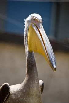 Free Brown Pelican Royalty Free Stock Photos - 5371588