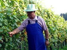Man Work In Vineyard Royalty Free Stock Photo