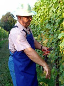 Free Man Work In Vineyard Stock Image - 5371631
