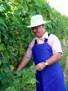 Free Man Work In Vineyard Royalty Free Stock Photography - 5371717