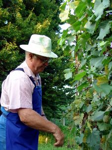 Man Work In Vineyard Stock Images