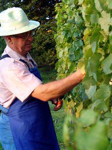 Free Man Work In Vineyard Royalty Free Stock Images - 5371759