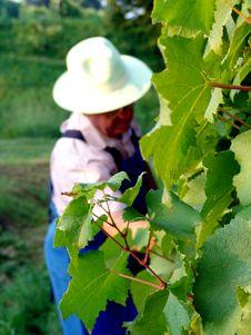 Free Man Work In Vineyard Royalty Free Stock Images - 5371799