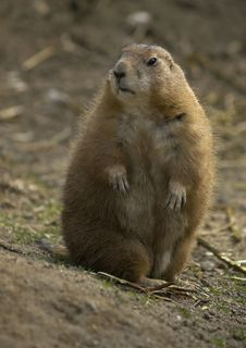 Free Prairie Dog (Cynomys Ludovicianus) Stock Images - 5372124