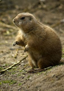 Free Prairie Dog (Cynomys Ludovicianus) Royalty Free Stock Images - 5372159
