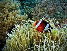 Free Clownfish Haven Royalty Free Stock Image - 5372646