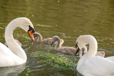 Swan Parenting Team Stock Image