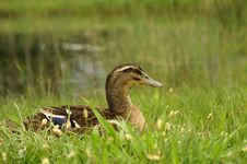 Free Adult Duck Is Sitting On The Lakeside Stock Photos - 5373093