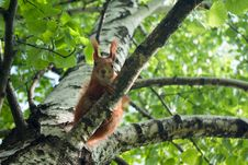 Free Curious Squirrel Royalty Free Stock Image - 5373166