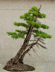 Free Bonsai Stock Photos - 5373203