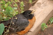 Free Injured American Robin Fledgling Royalty Free Stock Images - 5373209